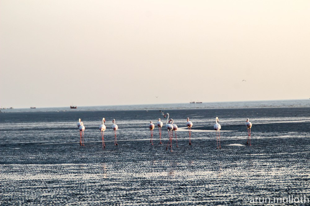 Flamingos at Modhva Beach
